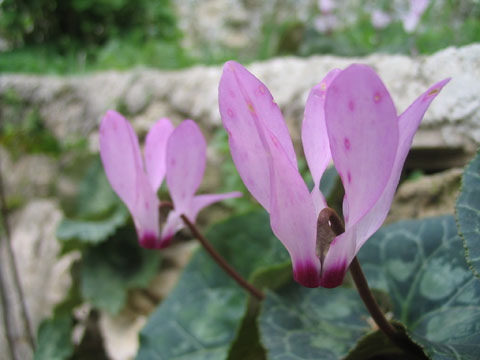 Rakefet (Cyclamen) in the Jerusalem Forest, Israel | © Melech ben Ya'aqov, Karaite Insights